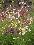 Earthcare Seeds Toadflax Wildflower 7,500 Seeds (Linaria maroccana)