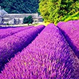 Bluelans 100Pcs/Pack Lavender Herb Seeds Home Balcony Garden Aromatic Plants Flower Seeds