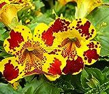 5 Original Packs, 30 seeds /pack, Mimulus Luteus 'Viva' seeds, Money Flowers, Perennial Herb Flowers, Multi-colored Plants