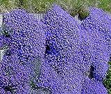 NEW! 50+ AUBRIETA BRIGHT BLUE ROCK CRESS FLOWER SEEDS / PERENNIAL / DEER RESISTANT
