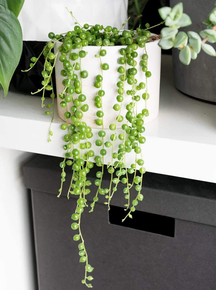 String of Pearls Plant To Hang Indoors