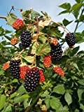 Ouachita Blackberry Bush Live Plant Rubus FHN