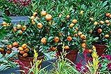 Orange Tree Seeds - DWARF MANDARIN - MEDICINAL CITRUS - Sweet Fruit - 10 Seeds