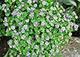 Exacum affine known commercially as the Persian Violet is a species of plant .