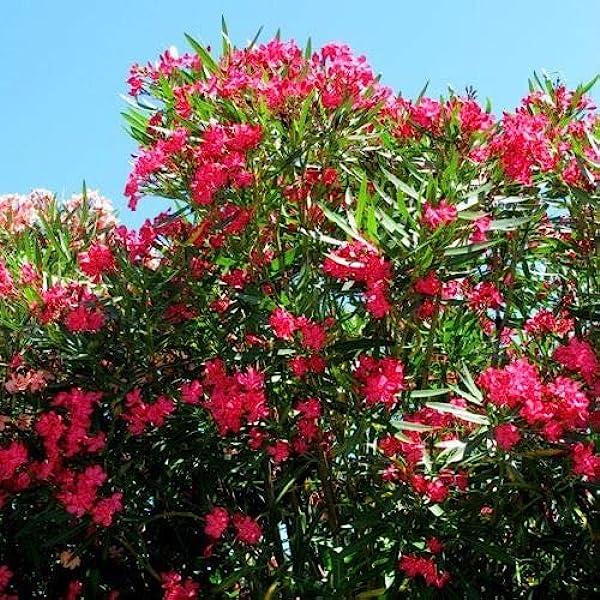 Amazon.com : Nerium oleander HARDY RED OLEANDER Seeds! : Garden & Outdoor