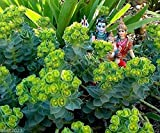 10 Euphorbia myrsinites (Myrtle Spurge Seeds) attractive low growing succulent