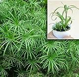 Umbrella Palm Plant - Rooted (not seeds) - Cyperus Alternifolius, Papyrus