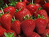 Hirts Evie Everbearing Strawberry Plants, 10 Plants Bareroot