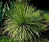 Agave stricta HARDY AGAVE Exotic SEEDS!