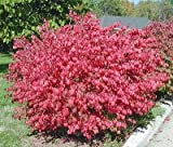 1 DWARF BURNING BUSH BARE ROOT Plant Hardy Shrub (Euonymus Alatus)