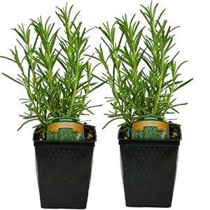 Rosemary Plant Set of 2 Organic Non GMO Stargazer Perennials