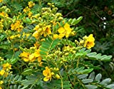 10 Seeds Senna multiglandulosa Buttercup Bush Ornamental Tree