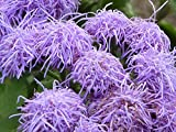 100 Dwarf BLUE MINK AGERATUM Houstonianum Fuzzy Double West Indies Flower Seeds