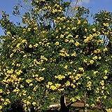 Yellow Trumpet Tree Seeds (Tecoma stans) 50+Seeds
