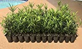 Podocarpus Macrophyllus Japanese Yew Qty 20 Live Plants Evergreen Privacy Hedge