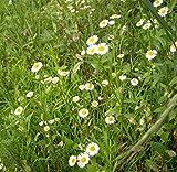 Futaba Kalimeris Indica Asteraceae Perennial Herbaceous Plant Eaten as a vegetable 20 Seeds
