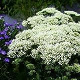 White Throatwort Seeds (Trachelium Caeruleum) 200+Seeds