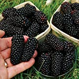 New Giant Black Raspberry Blackberry Seeds Fruit Seed Juicy Delicious Nutritious