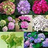 100 Pcs / Bag, Hydrangea Seeds, Color Mixture, Plumbago Capensis