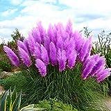 100pcs/pack Rare Pampas Grass Seeds to Grow, Wingbind Grass Seeds Organic Flower Plant Seeds Home Outdoor Garden Bonsai-Purple