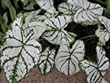 CALADIUM, BULB, WHITE CHRISTMAS, PACK OF 3 (THREE), EASY TO GROW, COLORFUL MIX, HOSTA BULBS
