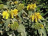 4 Bare Root of Phlomis Fruticosa