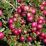 1 Packet of 50 Seeds Prickly Heath Bush/Ericaceae / Gaultheria Mucronata