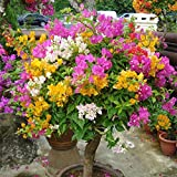 super1798 100Pcs Multicolor Bougainvillea Speetabilis Seeds Home Garden Flower Plant