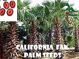 50 California Fan Palm seeds, ( WASHINGTONIA FILIFERA ) from Hand Picked Nursery