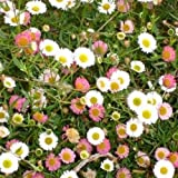 Erigeron- Karvinskianus Profusion- 50 seeds -