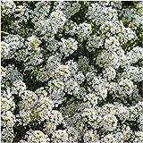 Sweet Alyssum (Carpet of Snow) Wildflower Seeds, 1 Oz