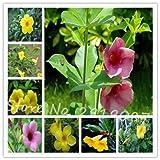 Allamanda violacea Seeds Seeds Petals flower Seeds Bonsai For Flower 100 Seeds 10 #32680021841ST
