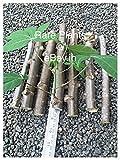 2 Tapioca, Manihot Esculenta Or Cassava (5 inch) Stem Cuttings for Growing