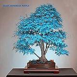30pcs Japanese Maple Tree Bonsai Seeds Acer Palmatum Atropurpureum Plant Garden
