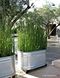 10 x Horsetail Plants for Koi Pond Bamboo Looking Exot