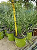 3G Dasylirion Quadrangulatum Mexican Grass Tree