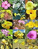 10 Seeds UNCARINA Variety Mix, magadascar Plant Caudex Succulent ECC