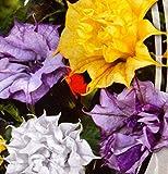 Datura metel terry mix Flower Seeds annuals from Ukraine