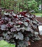 Black Scallop Bugleweed - Ajuga - New! - Darkest Form - Quart Pot