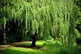 4 Golden Weeping Willow Trees - Live Plants - Beautiful Arching Canopy