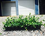 Asiatic Jasmine Minima Qty 30 Live Plants Asian Groundcover