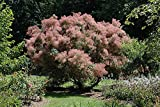 "Grace Smokebush - Cotinus - Orange - Red Fall Color! - 4"" Pot"