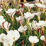 Van Zyverden Oxalis Versicolor Set of 5 Bulbs