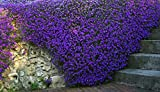 Aubrieta Purple Flower Seeds from Ukraine