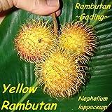 ~YELLOW RAMBUTAN~ TROPICAL FRUIT TREE Nephelium lappaceum LIVE Sm Pot'd PLANT