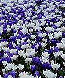 "Crocus Blue & White Bulbs Mix -LARGE FLOWERING, White,Purple/blue, size: 8/9"".(10 Bulbs)"