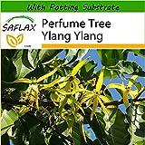 SAFLAX - Perfume Tree Ylang Ylang - 10 Seeds - with Soil - Cananga odorata