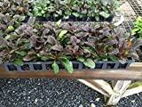 Ajuga Bronze Beauty (Ajuga reptans), Flat of 24