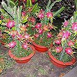 ADB Inc 2016 Tasty Sweet Hai'nan Pink Pitaya Dragon Fruit Cactus Plant