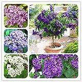 AGROBITS Heliotropium Arborescens Plant Chinese Bonsai Flower Plant Various Colors to Choose for Home Garden 100 Pcs: Mix